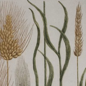 Herirtage-wheat-680 -2
