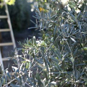 Our Own Olive Oil Tree