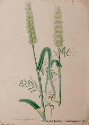 1840 – Botanical picture of wheat – UK