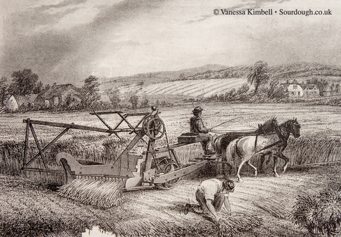 1880 – Reaping wheat - UK