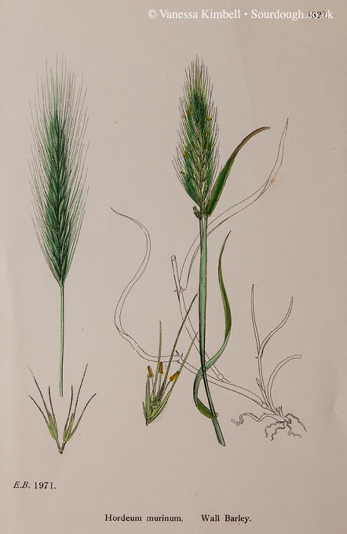 1902 – Botanical picture of barley – UK
