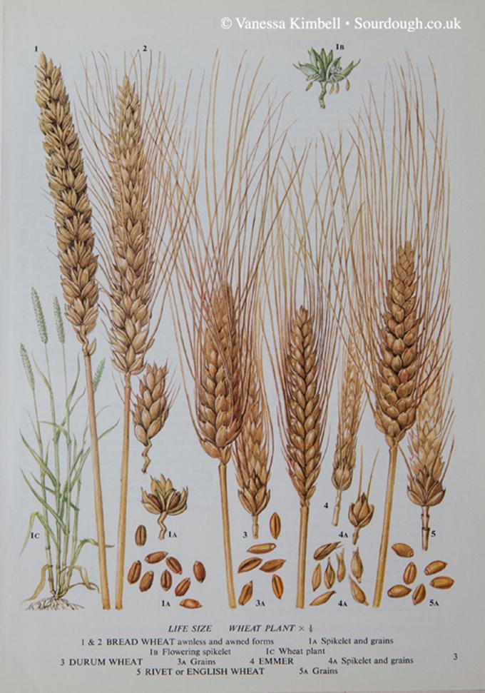 1920 – Heritage wheat – Emmer, Rivet, Durum – UK