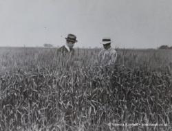 1931 – Wheat harvest – USA