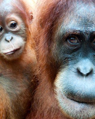 endangered orangutans