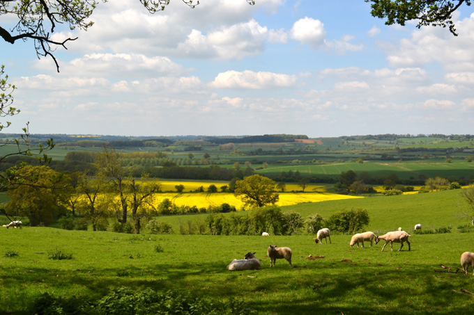 Rapeseed is now the third most important crop in Britain after wheat and barley.