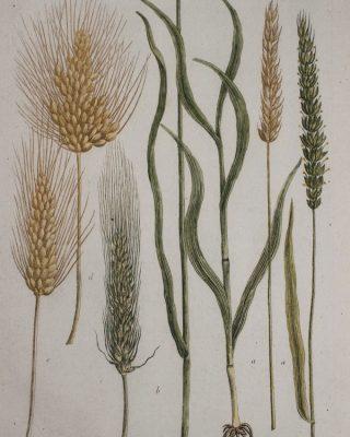 Herirtage wheat -680