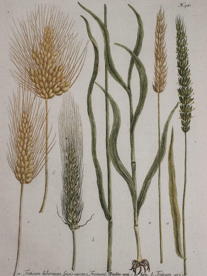 Botanical painting of wheat 1863 Just looking at pictures from the late 19th century it is immediately apparent that the modern varieties that we grow across the world today are almost unrecognizable.