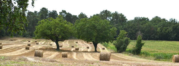 The local wheat in the South West of France