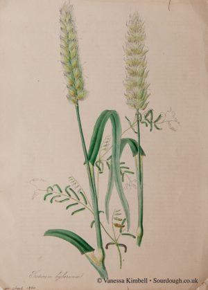 1840 – Botanical picture of wheat – UK
