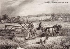 1880 – Reaping wheat - UK