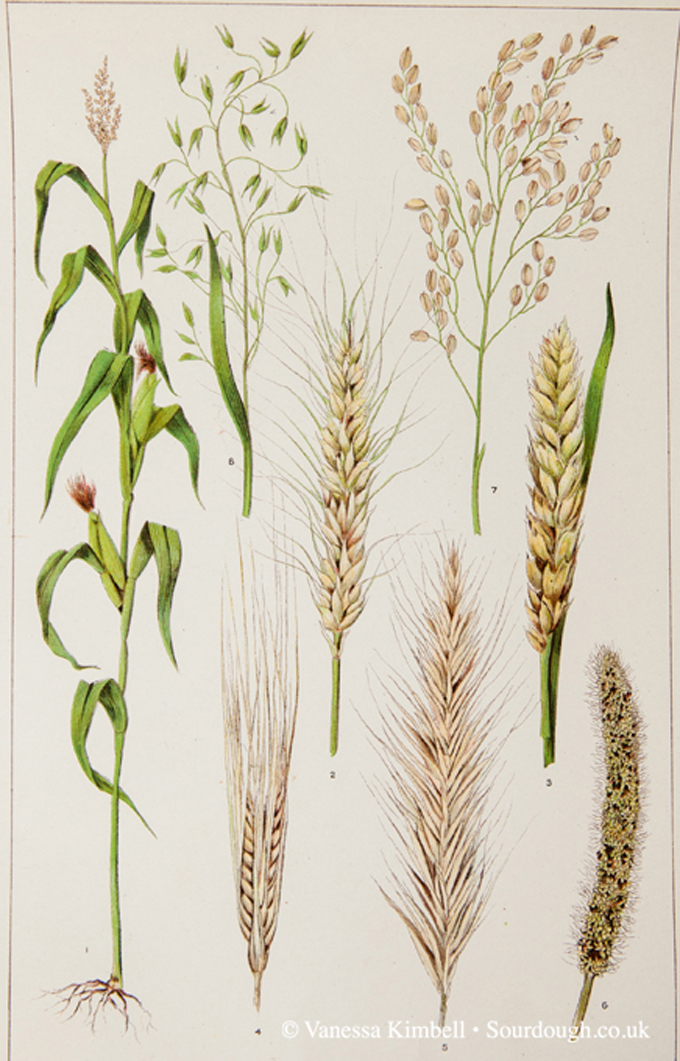 1902 – Botanical picture of rye , oats, corn, barley, wheat – UK