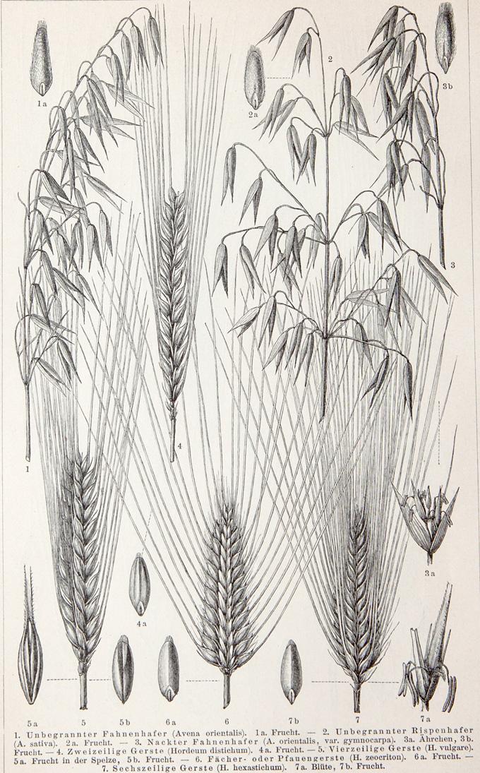 680 - 1902 - wheat - oats - durum -spelt - emmer B uk - 4_