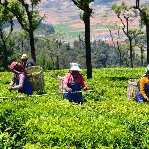 Fair-trade tea