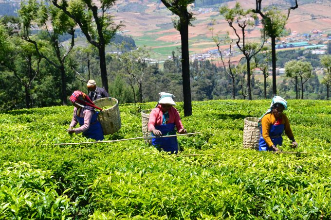 The Tea That We Drink & Use…